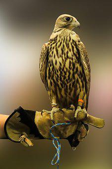 Animal World, Nature, Bird, Falcon, Bird Of Prey