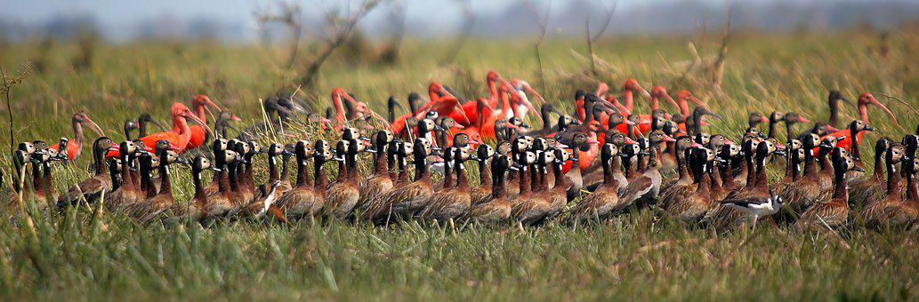 Whistling Ducks Widowers, Ibis Red, Ibis White, Birds
