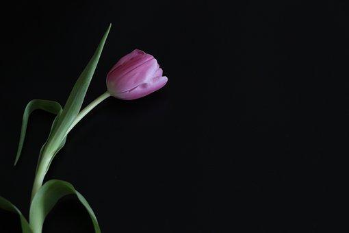 Tulip, Postcard, Background, Black, Pink, Minimalism