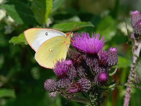 Moor, Clouded Yellow, Thistle, Butterfly, Close Up