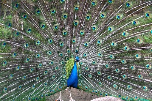 Peacock, Wheel, Colorful, Bird, Iridescent, Feather
