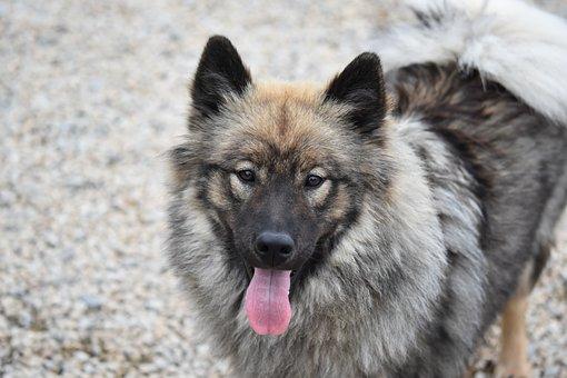 Dog Eurasier, Eurasier Portrait, Eurasier, Animal
