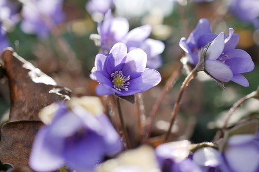 Hepatica, Purple, Flower, Spring, Violet, Spring Flower