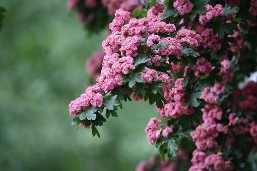 Flowers, Tree, Pink, Shrub, Nature, Yards, Landscape