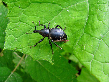 Beetle, Forest, Insect, Forest-beetle, Nature