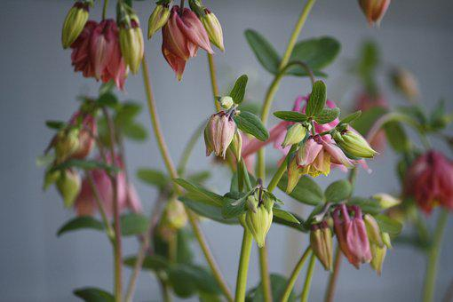 Flowers, Garden, Pink, Columbine, Gardening, Flora
