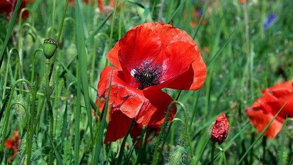 Poppy, Papaver Rho, Flower, Garden, Nature, Flowers