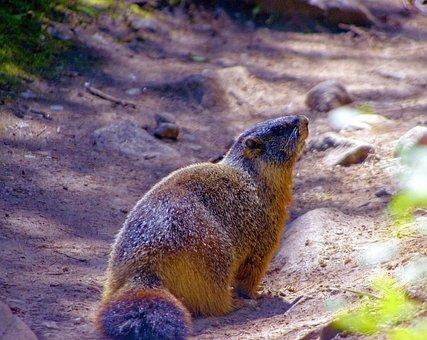 Grand Teton Yellow-bellied Marmot, Rock Chuck, Animal
