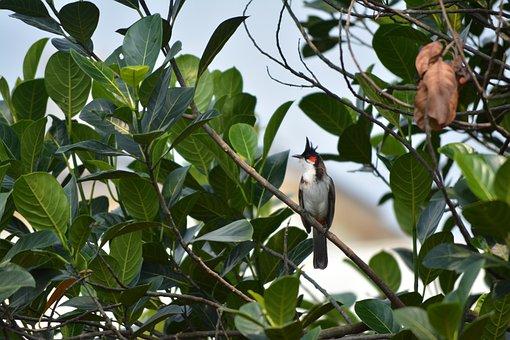 Bulbul, Red, Whiskered, Goa, Morning, Bird, India