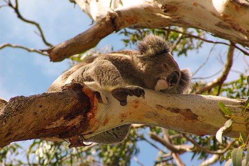 Koala, Australia, Animal, Cute, Nature, Marsupial