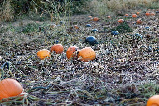 Pumpkins, Farm, Vines, Orange, Green, Harvest, Autumn