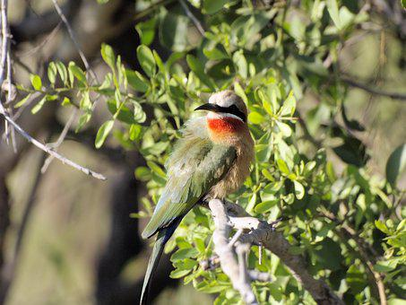 Bird, Colourful, Plumage, Perched, Bee Eater, Africa