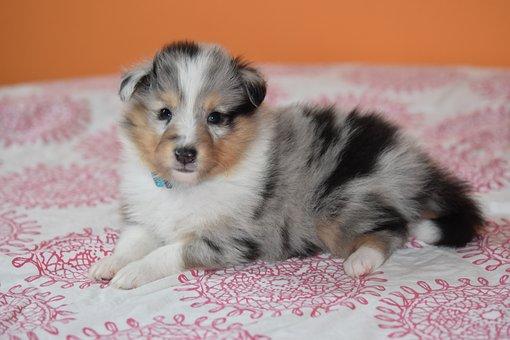 Puppy, Puppy Shetland Sheepdog, Dog