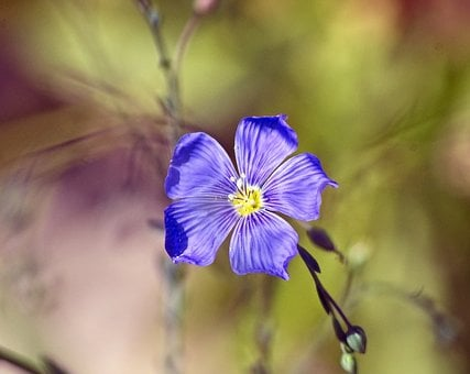 Blue Flax, Purple, Wildflower, Bloom, Nature, Blossom