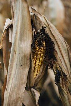 Corn, Shuck, Maize, Cob, Crop, Vegetable, Farm, Fresh