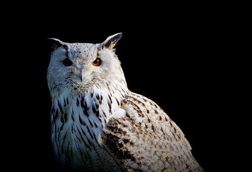 Snowy Owl, Owl, Raptor, Bird, Nocturnal, White