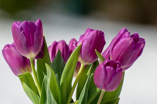 Tulips, Tulip, Pink, Flowers, Spring, Garden, Nature