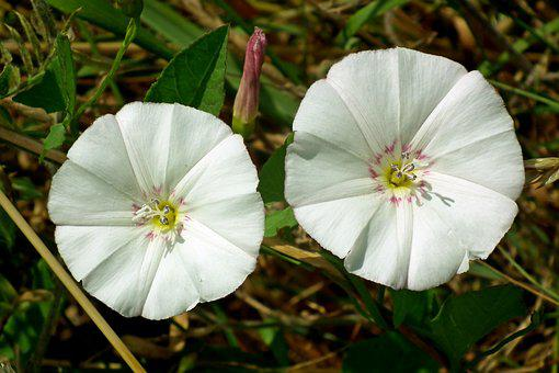 Bindweed, Flowers, White, The Beasts Of The Field