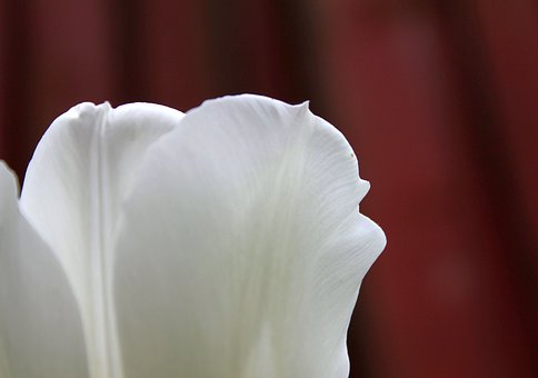 Tulip, Flower, White, Wallpaper, Backdrop, Header