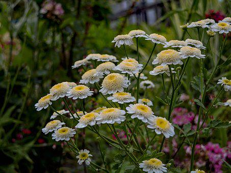 Chrysanthemums, Garden, Flowers, Bloom, White