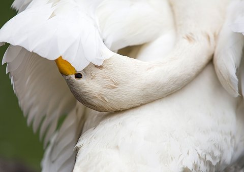 Swan, Bird, Zoo, Nature, White, Pen, Plumage