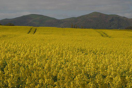 Malvern Hills, Rape Seed Fields, Worcestershire