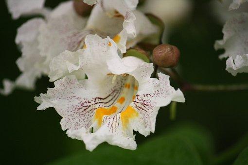 Catalpa, Flowering, Trees, Landscape, Yards, Shade