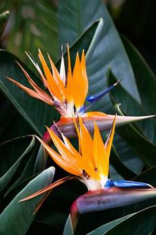 Caudata, Strelitzia, Bird Of Paradise Flower