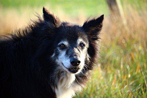 Dog, Border, Collie, Herding Dog, Border Collie