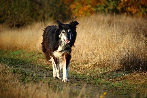 Border, Dog, Herding Dog, Purebred Dog, Border Collie