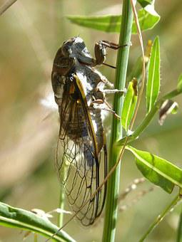 Cicada, I Cicádido, Crayfish, Summer Cri-cri, Insect