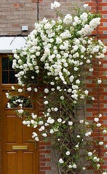 Roses, Rose, Flowers, White, Rambling, Climbing, Door