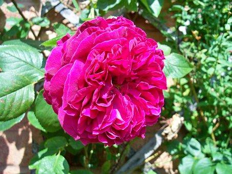 Red Rose, Turkish Delight Rose, Climbing Rose, Flower