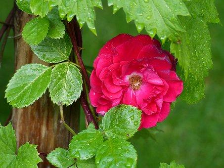 Ros, Red, Leaf, Climbing Rose, Pole, Garden, Summer