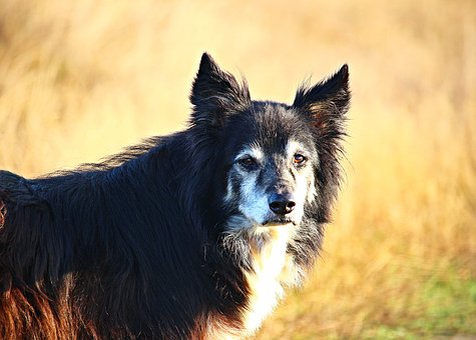 Dog, Collie, Border, Herding Dog, Border Collie