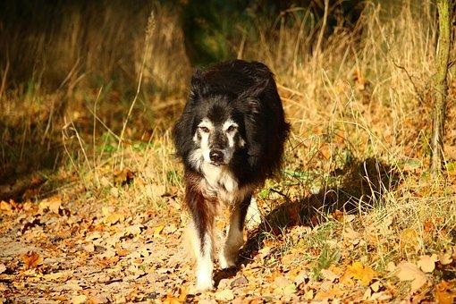 Dog, Border, Herding Dog, Border Collie, Collie