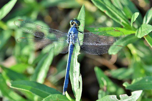 Dragonfly, Pondhawk, Eastern Pondhawk, Insect