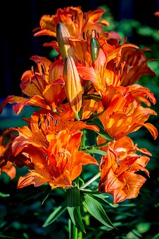 Fire-lily, Lilium Bulbiferum, Inflorescence, Umbel