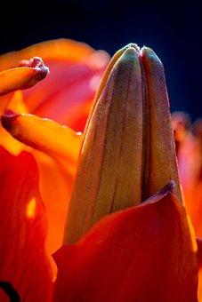 Fire-lily, Lilium Bulbiferum, Bud, Flower Bud