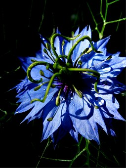 Virgin In The Green, Nigella Damascena, Flower, Blossom