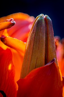 Fire-lily, Lilium Bulbiferum, Bud, Flower Bud