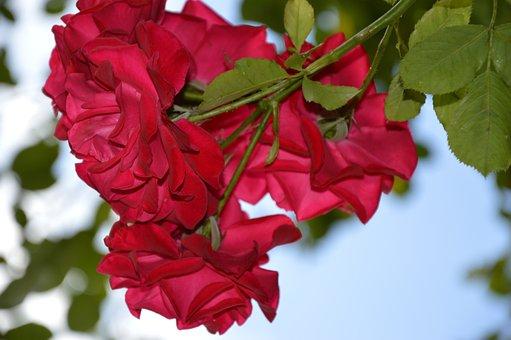 Rose, Climbing Rose, Red, Flowers