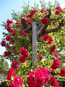 Garden, Roses, Climbing Roses, Rose Trellis, Flowers