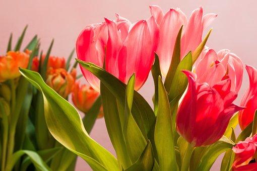 Tulips, Bouquet, Spring, Nature, Flowers, Schnittblume