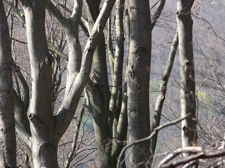 Beech, Tribe, Booking Master, Forest, Branch, Bark