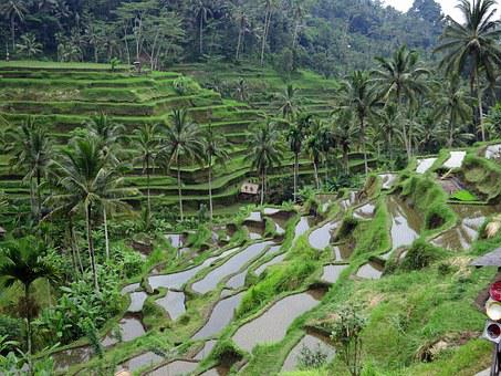 Rice Field, Bali, Green, Agriculture, Terrace