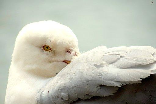 Wildlife, Nature, Bird, Feathers, Herring, Gull, Fauna
