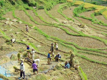Indonesia, Bali, Rice, Winnowing, Rice Field, Peasantry
