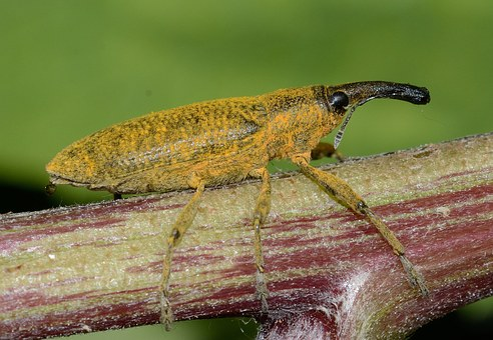 Insects, Beetles, Lixus, Pulverulentus, Macro