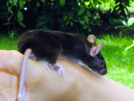 Mouse, Color Mouse, Animal, Mammal, Rodent, Tame, Black